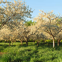 Cherry trees in an orchard, Leelanau Peninsula, Michigan, USA