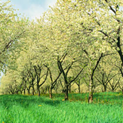 Rows Of Cherry Tress In An Orchard, Minnesota, USA