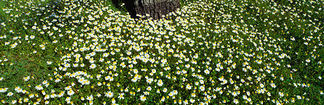High angle view of Daisy flowers on a landscape, Grand Rapids, Michigan, USA