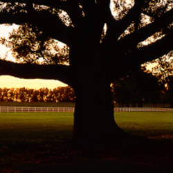 USA, Louisiana, Oak Tree at Sunset