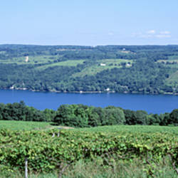 Vineyard with a lake in the background, Keuka Lake, Finger Lakes, New York State, USA