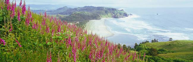 Foxgloves At Cascade Head, Tillamook County, Oregon, USA