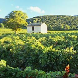 Vineyard Provence France