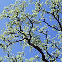 Oak Tree, California, USA