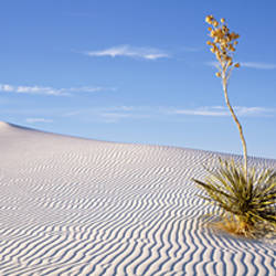 Soaptree Yucca, White Sands National Monument, New Mexico, USA