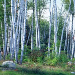 Downy birch (Betula pubescens) trees in a forest, Shelburne, Coos County, New Hampshire, USA
