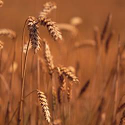 Detail Wheat