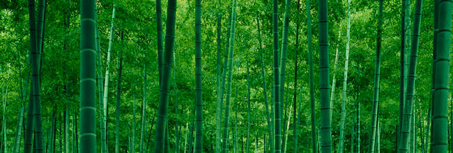 Bamboo trees in a forest