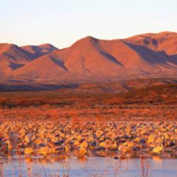 Sandhill Crane, Bosque Del Apache, New Mexico, USA