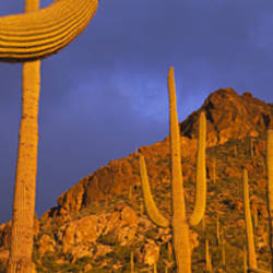 Saguaro Cactus, Tucson, Arizona, USA