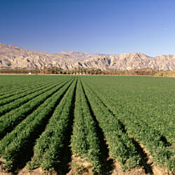 Carrot crops in a field, Indio, Coachella Valley, Riverside County, California, USA