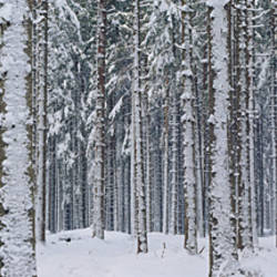 Snow covered trees in a forest, Austria