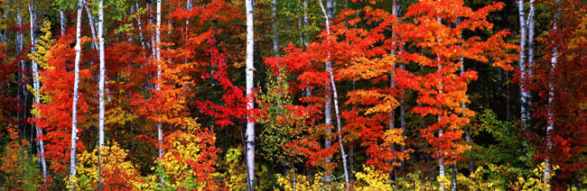 Maple and birch trees in a forest, Maine, USA