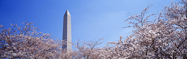 Washington Monument behind cherry blossom trees, Washington DC, USA