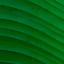 Water drops on a palm leaf, Hawaii, USA