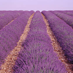 France, View of rows of blossoms in a field