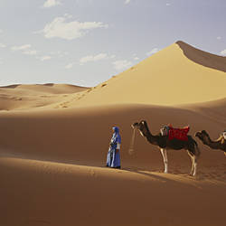 Camels in Desert Morocco Africa