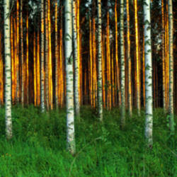 Birch Trees, Saimma, Lakelands, Finland