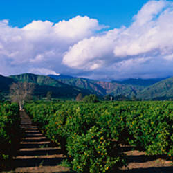 Orange Orchard Fillmore CA
