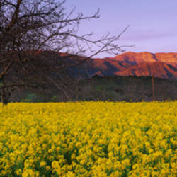 Mustard Topa Topa Mountains CA