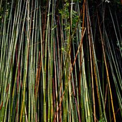 Bamboo HI