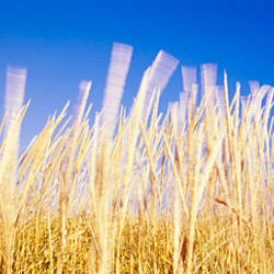 Marram grass in a field, Washington State, USA