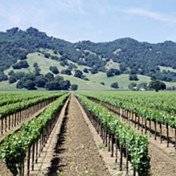 Rows of vine in a vineyard, Hopland, California, USA