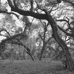 Oak trees in a forest, Lake Kissimmee State Park, Florida, USA
