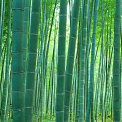 Bamboo Forest, Sagano, Kyoto, Japan