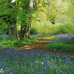 Bluebells in a forest, Thorp Perrow Arboretum, North Yorkshire, England