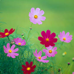 Close-up of wildflowers, Oku-Aizu, Fukushima Prefecture, Japan