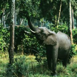Herd of Elephants Maasai Mara National Park Kenya Africa