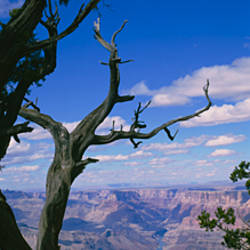 Close-up of a tree at the edge of a canyon, Grand Canyon National Park, Arizona, USA