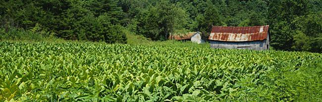 Barn In A Tobacco Field, Kentucky, USA