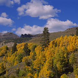 Aspen trees in mountains, Sonora Pass, Sierra Mountain, California, USA