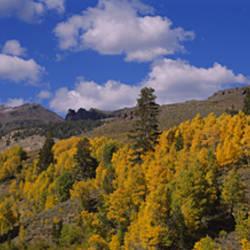 Aspen trees in mountains, Sonora Pass, Sierra Mountain, California, USA