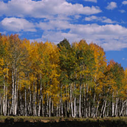 Aspen trees in a forest, Coconino National Forest, Flagstaff, Arizona, USA