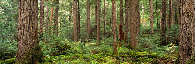 Trees in a forest, Cheakamus Lake, British Columbia, Canada