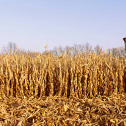 Combine in a corn field, McHenry County, Illinois, USA
