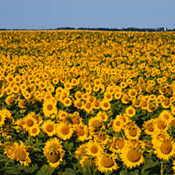 Field Of Sunflowers, North Dakota, USA