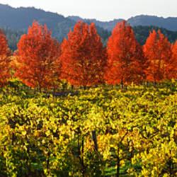 Crop in a vineyard, Napa Valley, California, USA