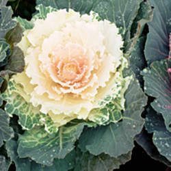 Close-up of cabbage flowers, North Carolina, USA
