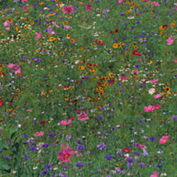 Field Wildflowers Shelburne VT USA