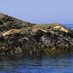 Four Sea Lions lying on a rock, Point Lobos State Reserve, California, USA