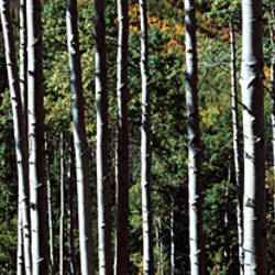 White Aspen Tree Trunks CO USA