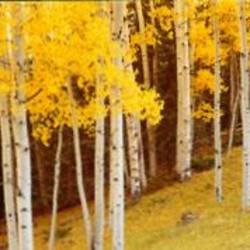 Aspen trees in a field, Ouray County, Colorado, USA