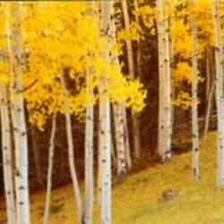 Aspen trees in a field, Ouray County, Colorado, USA
