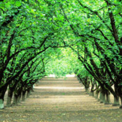 Hazel Nut Orchard, Dayton, Oregon, USA