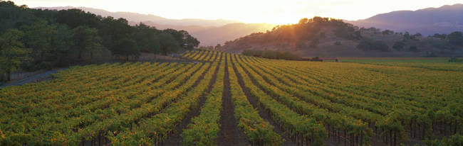 Sunset, Vineyard, Napa Valley, California, USA