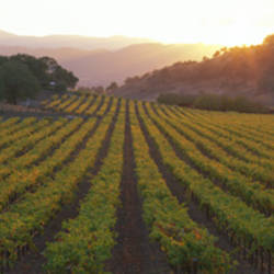 Sunset, Vineyard, Napa Valley, California, USA